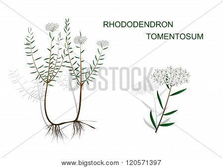illustration of wild rosemary. poisonous plants of the Altai
