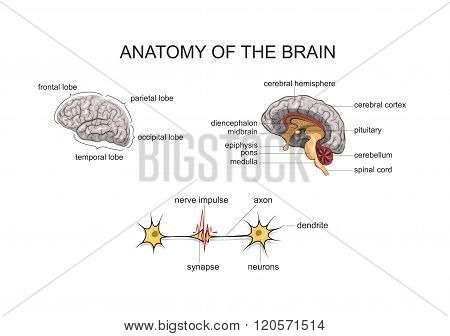 normal anatomy of the brain. nervous system