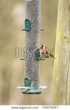 Beautiful Goldfinch Bird Carduelis Carduelis On Garden Feeder