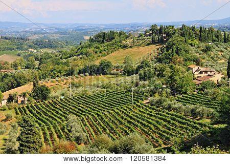 Vineyard landscape before harvest