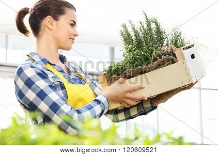 Woman Holding A Crate Of Aromatic Herbs, Working In A Greenhouse