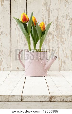 Springtime, Tulips Potted Flowers In Watering Can On Wooden White Blank Background