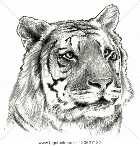 Tiger`s head isolated on white background. Pencil drawing monochrome image