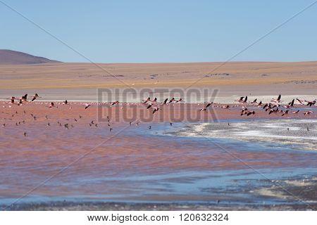 Group Of Pink Flamingo Flying Over Salt Lake, Bolivian Andes
