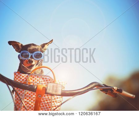 a cute chihuahua riding in a basket on a bicycle and wearing goggles toned with a retro vintage instagram filter app or action effect