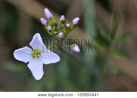 Cuckooflower or lady's smock (Cardamine pratensis)