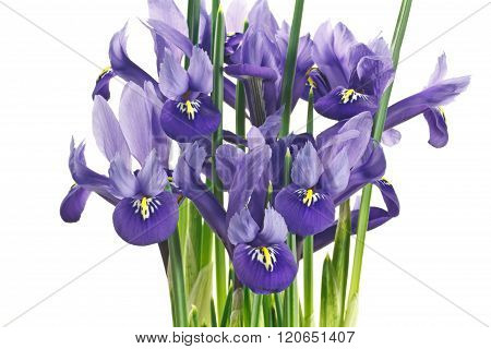 Iris Flowers And Leaves On A White Background