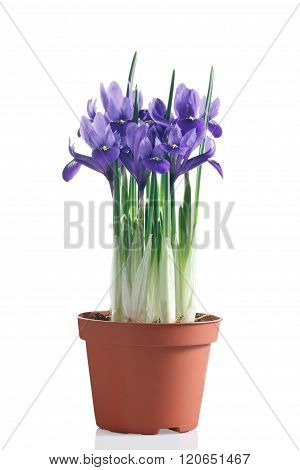 Flowering Iris Plant In Pot On A White Background