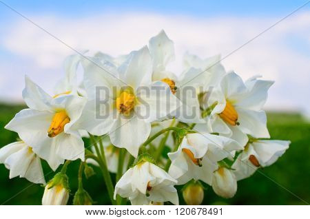 White Potato Flower