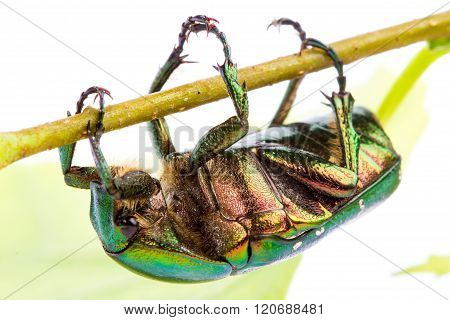 Rose Chafer Crawling On A Branch
