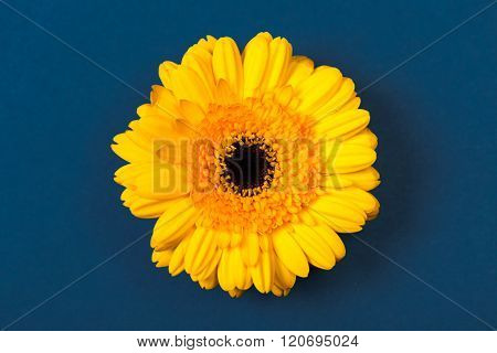 Yellow Gerbera Daisy, On Blue Background