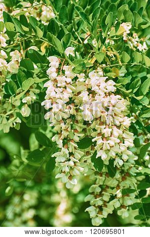 White Flowers Of Wisteria