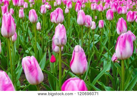 Pink tulips, meadow with flowers.