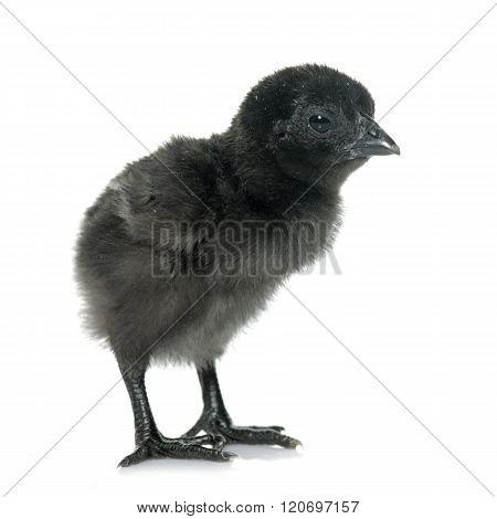 Ayam Cemani Chick