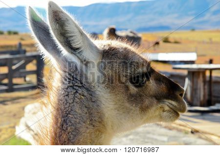 Close-up of a Guanaco at an Estancia