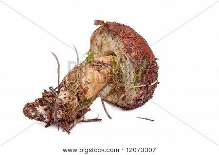 Xerocomus Badius Mushroom