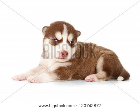 Siberian Cooper Red Husky Puppy