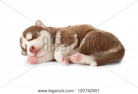 Siberian Cooper Red Husky Puppy Asleep