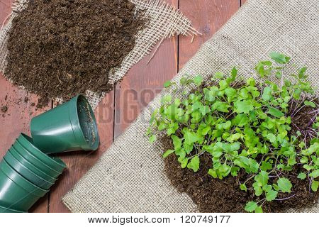 Seedlings Small Plants of Kohlrabi with Flower Pots and Loam on Wooden Background
