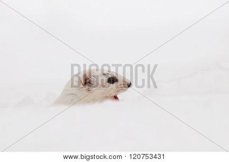 Portrait Of Winter Least Weasel In White