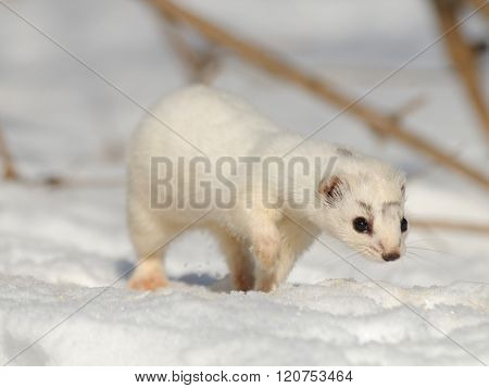 Walking Winter Least Weasel in winter