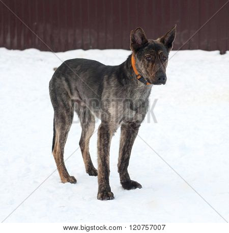 Grey And Brown Young Mongrel Dog Standing On Snow