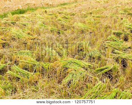 Paddy Field Harvest