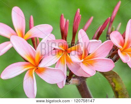 Pink Plumeria Blossoms