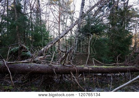 Falling Trees After A Very Big Storm