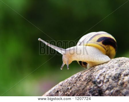 Snail On The Stone