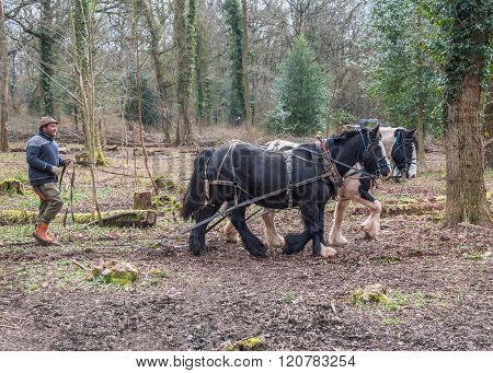 Working Cob Horses