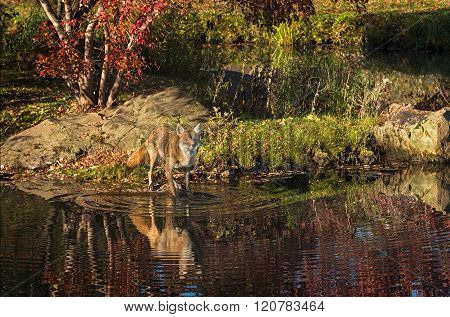 Coyote (canis Latrans) On Island Looks Out