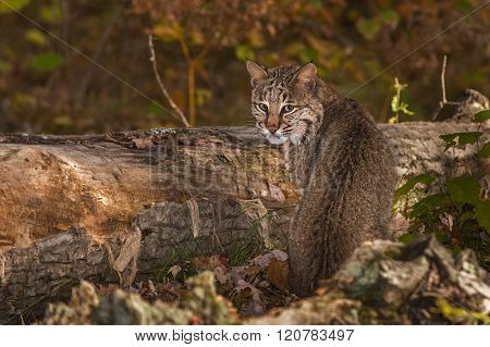 Bobcat (lynx Rufus) Looks Back