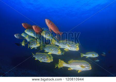 Underwater coral reef fish: Oriental Sweetlips and Bigeyes
