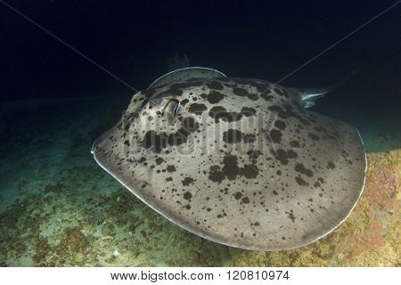 Marbled Stingray