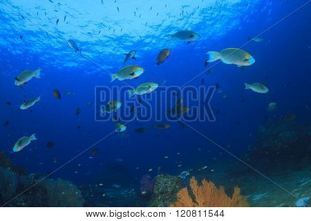Coral reef and fish (Parrotfish) underwater