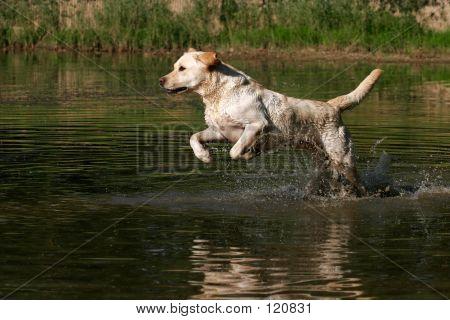Labrador Running