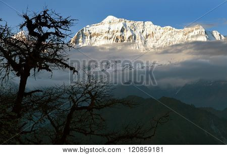 Evening View Of Gurja Himal With Silhouette Of Tree