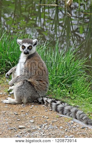 Ring-tailed Lemur In A Zoo