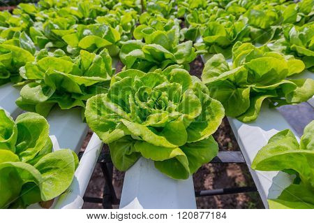 Green Lettuce Cultivation On Hydroponic Technology
