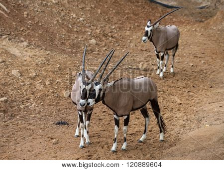 Oryx Gazella Together