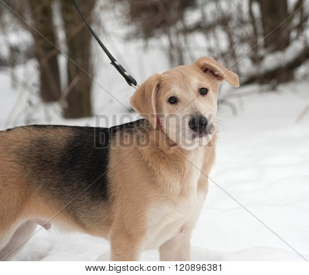 Yellow Mongrel Puppy Standing On Snow