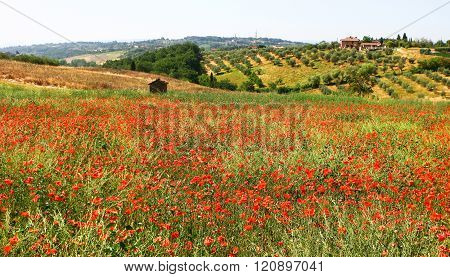 Sienna. Tuscany. Italy - June 28, 2012 - Typical rural landscape: field, scarlet poppies and small houses on the horizon in June 28, 2012 in Siena, Tuscany, Spain.