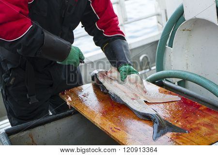 Man cleaning fresh fish at fishing boat