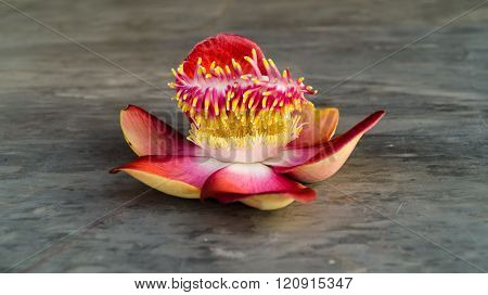 Cannonball tree flowers .