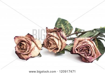 Fading rose. Dead rose. Roses frame. withered rose