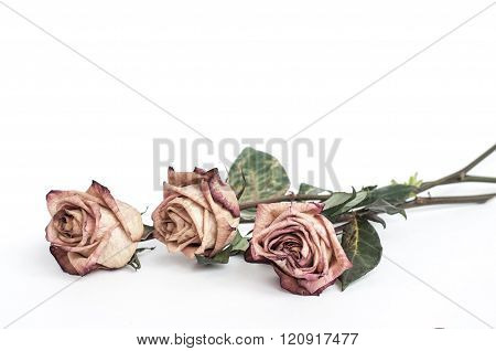 Fading rose. Dead rose. Roses frame. Three withered roses isiletad on white