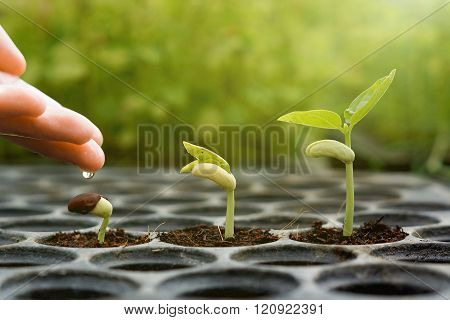 Agriculture , Baby plants seeding - Farmer hand watering young baby bean plants seedling on over green background ,seed planting