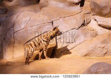 Spotted Hyena looks forward