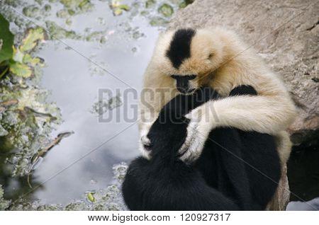 White Faced Gibbon